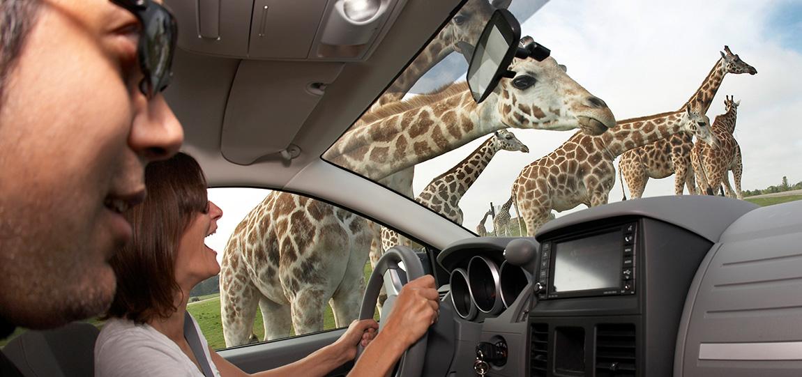 African Lion Safari - watching giraffes from inside car